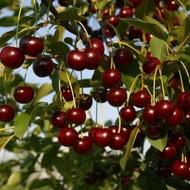 Prodaja sadnica u rasadniku Karolina - prodajna sezona jesen 2013.