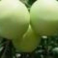 Jabuka - Bjeličnik - sadnice