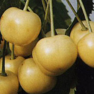 Trešnja - Denisenova žuta - sadnice