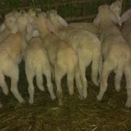 Matični uzgajivači solčavsko-jezerske pasmine ovaca
