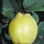 Dunja - Bereczkego - sadnice