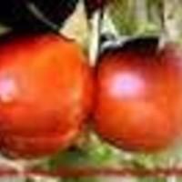 Nektarina - Maygrande - sadnice