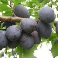 Šljiva - Jojo - sadnice
