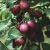 Šljiva - Ruth Gerstetter - sadnice