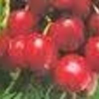 Trešnja  - Germerdorfska - sadnice