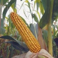 Sjeme hibridnog kukuruza Bc 244 (FAO 250) - kvalitetan zuban