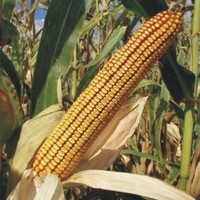 Sjeme hibridnog kukuruza Bc 354 (FAO 350) - zuban