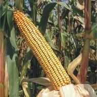 Sjeme hibridnog kukuruza Bc 408 B (FAO 480) - zuban