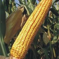 Sjeme hibridnog kukuruza Bc 418 B (FAO 460) - kvalitetan zuban