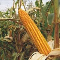 Sjeme hibridnog kukuruza Bc 462 (FAO 420) - polutvrdunac