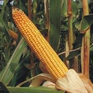 Sjeme hibridnog kukuruza Bc 572 (FAO 500) - kvalitetan zuban