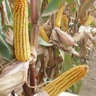 Sjeme hibridnog kukuruza KLIPAN (FAO 520) - kvalitetan zuban