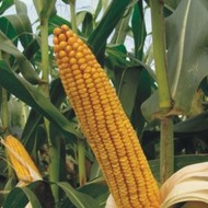 Sjeme hibridnog kukuruza Bc 666 (FAO 660) - kvalitetan zuban