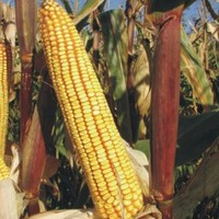 Sjeme hibridnog kukuruza Bc 678 (FAO 670) - zuban