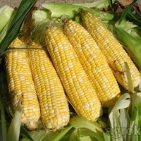 Sjeme hibridnog kukuruza - SUPERSLATKI ŠEĆERAC (FAO 250) - šećerac