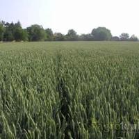 Ozima pšenica - SANA