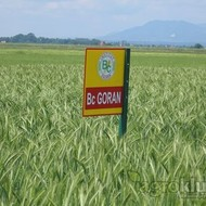 Bc GORAN - sorta za ishranu stoke, Triticale
