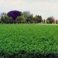 Krmno bilje - Lucerna - MIRNA