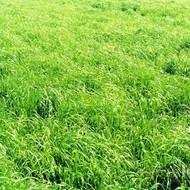 Krmno bilje - Talijanski ljulj - MIR