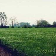 Krmno bilje - Engleski ljulj - ŠAMPION