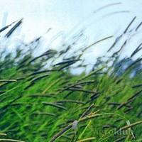 Krmno bilje - MAČJI REPAK - B-10
