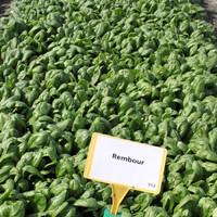 Špinat Rembour 50.000 sjemenkii
