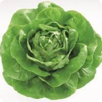 Salata Centore F1
