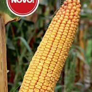 Hibridni kukuruz BC 424 (FAO 460)- kvalitetan zuban