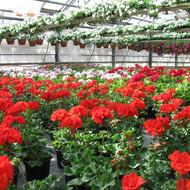 Cvijeće za balkone i terase