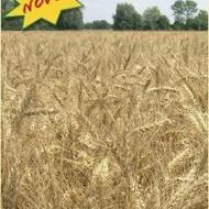 Ozima pšenica - Bc LIRA