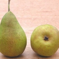 Kruška - Gelertova maslovka - sadnica