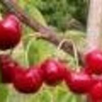 Trešnja – Giorgia - sadnice