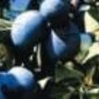 Šljiva - California blue - sadnice