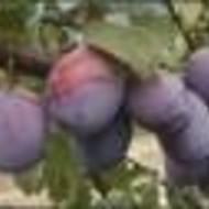 Šljiva - Čačanska  ljepotica - sadnice