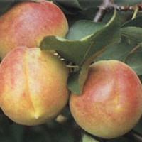 Marelica - Cegledi bibor - sadnice