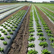 Poljoprivredna folija – mulch folija, biorazgradiva