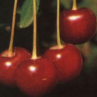 Ciganymeggy - Sadnice - Višnje