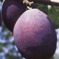 Šljiva - Čačanska rana - sadnice