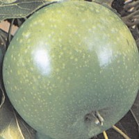 Jabuka - Granny smith - sadnice