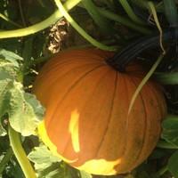 Domaće i izvrsne kvalitete: Bundeve - Butternut, Hokkaido, Kabocha i Halloween