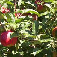 Jabuka –  Akane - sadnice