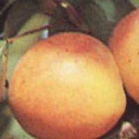 Marelica - Mađarska  najbolja - sadnice