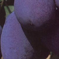 Šljiva - Stanley - sadnice