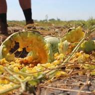 Sa terena šteta na povrću