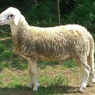 Solčavsko-jezerska pasmina ovaca