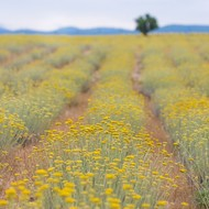 Natural beauty of Immortelle farm