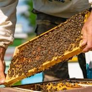 Grabež na pčelinjaku - kako prepoznati i sprečiti