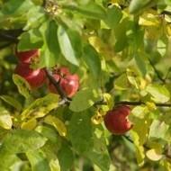 Sanitacija plantaža jabuka nakon obavljene berbe