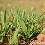 Pšenica porodice Stojanović