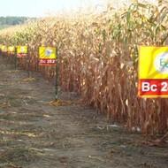 Bc Institut sorte kukuruza